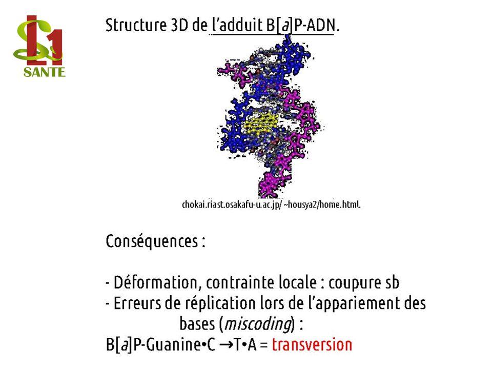 Structure 3D de l'adduit B[a]P-ADN.